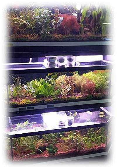 Some of the many species of Aquatic plants available at Premier Aquatics